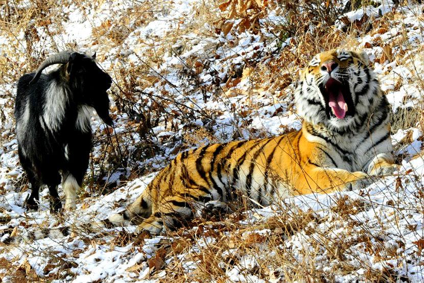 тигр3
