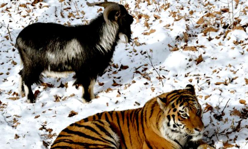 Для козла Тимура и тигра Амура завели страничку в
