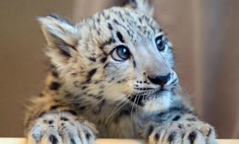 Умер второй краснокнижный тигренок, подаренный Тимошенко ялтинскому зоопарку