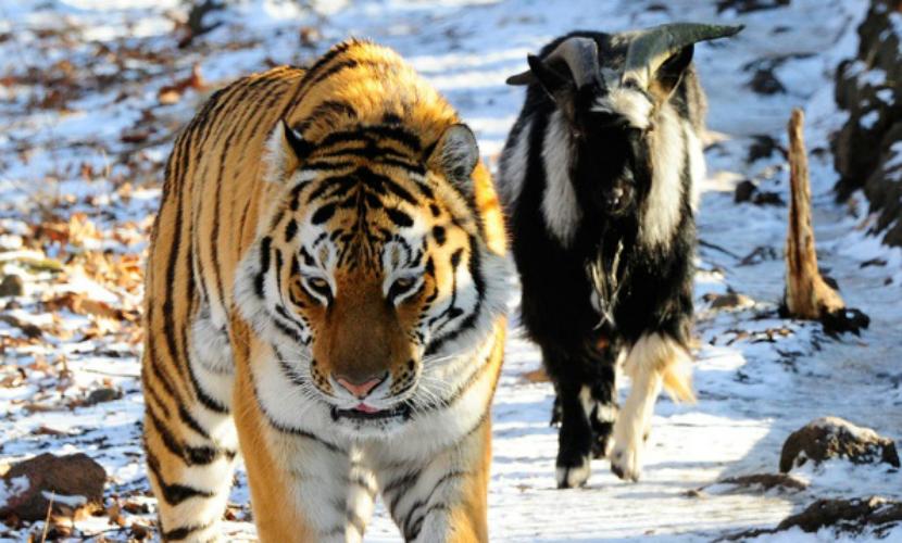 Тигр Амур ударил козла Тимура