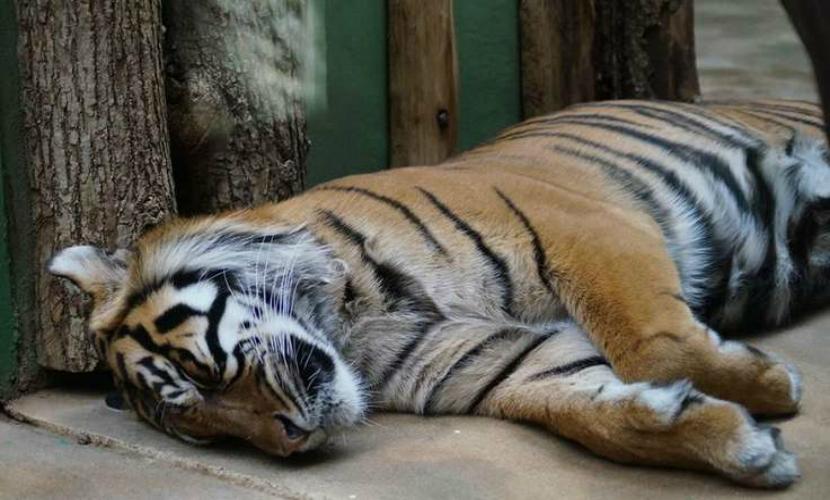 Тигру Амуру грозит преждевременная смерть от панкреатита