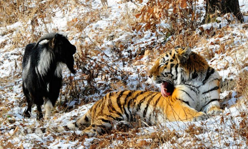 Тигр Амур схватил козла Тимура зубами и ранил его