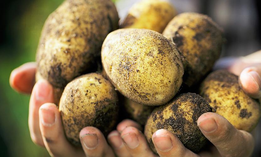 Россиян завалили ненужным отечественным картофелем