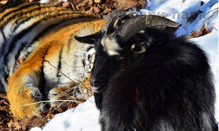Знаменитый Тимур стал отцом нескольких козлят