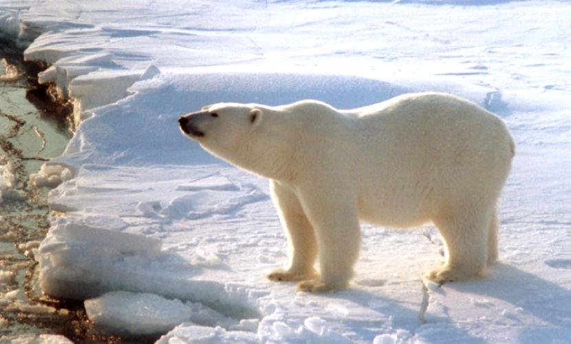 Белая медведица убила мужчину на острове в Арктике