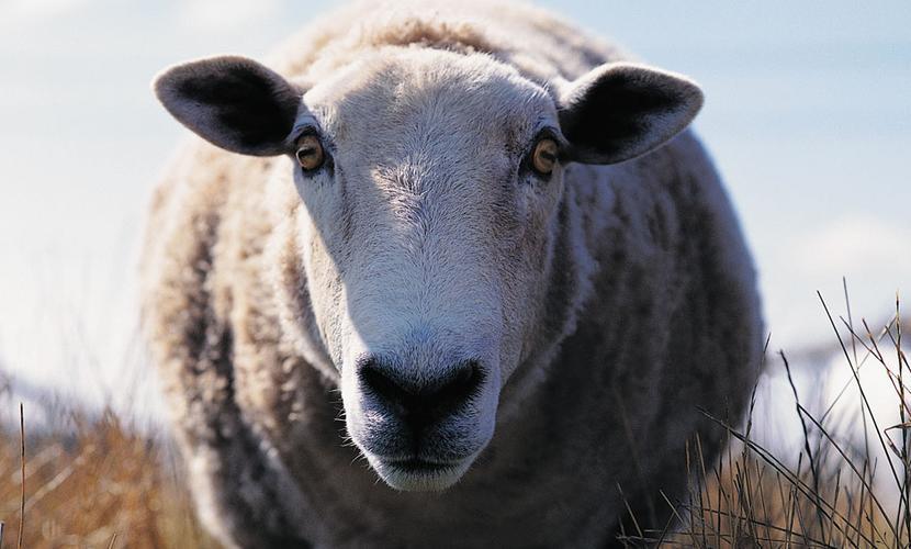 Выстреливший в спину жителя Волгограда баран превратился в овцу Катьку