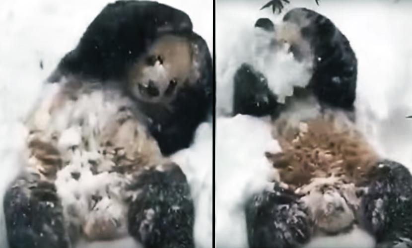 Панда в зоопарке США пришла в восторг от страшной бури