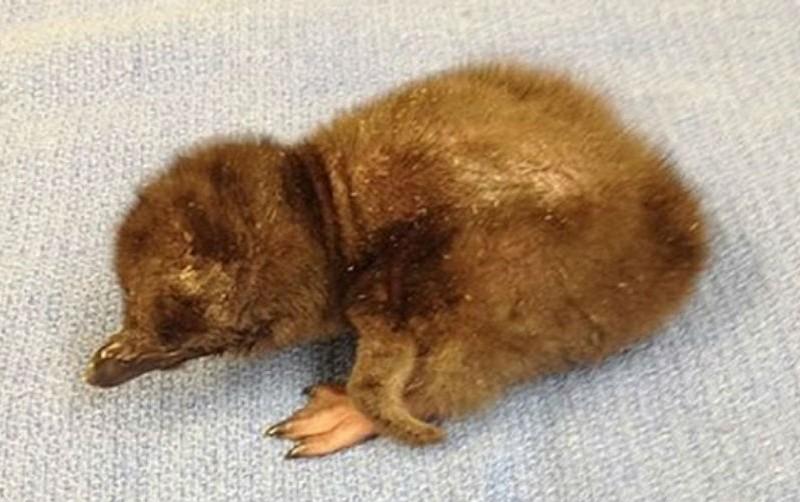 Новорожденного пингвина в зоопарке США назвали Дэвидом Боуи