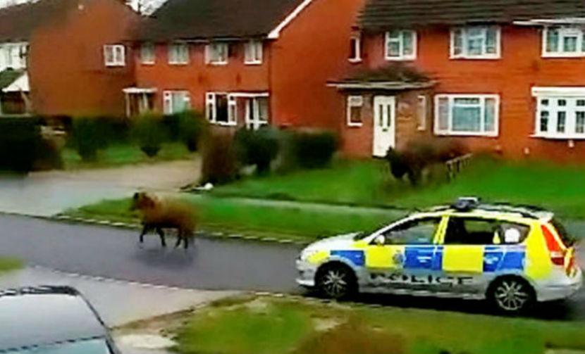 Полицейские на четырех машинах попытались догнать пони-правонарушителя в Англии