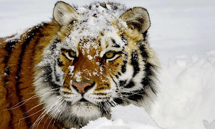 Амурский тигр в Приморье покусал обстрелявшего его мужчину