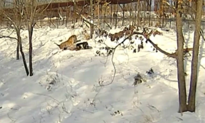 Видео нападения тигра Амура на козла Тимура появилось в Сети