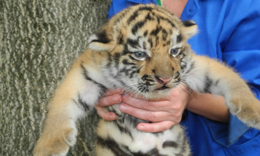 Жители Приморья нашли третьего за зиму тигренка-сироту