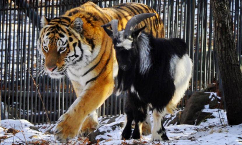 Тигра Амура и козла Тимура поселят с невестами в Приморском зоопарке
