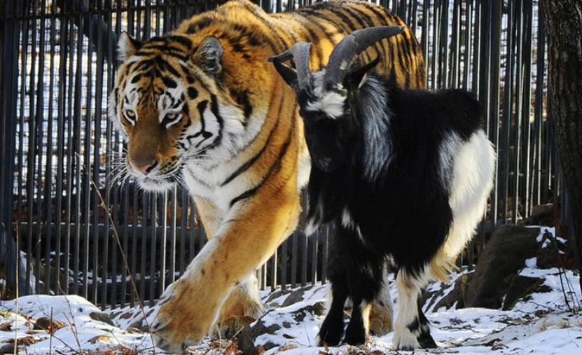Тигр Амур и козел Тимур пригласили в гости детей со всех бывших республик СССР