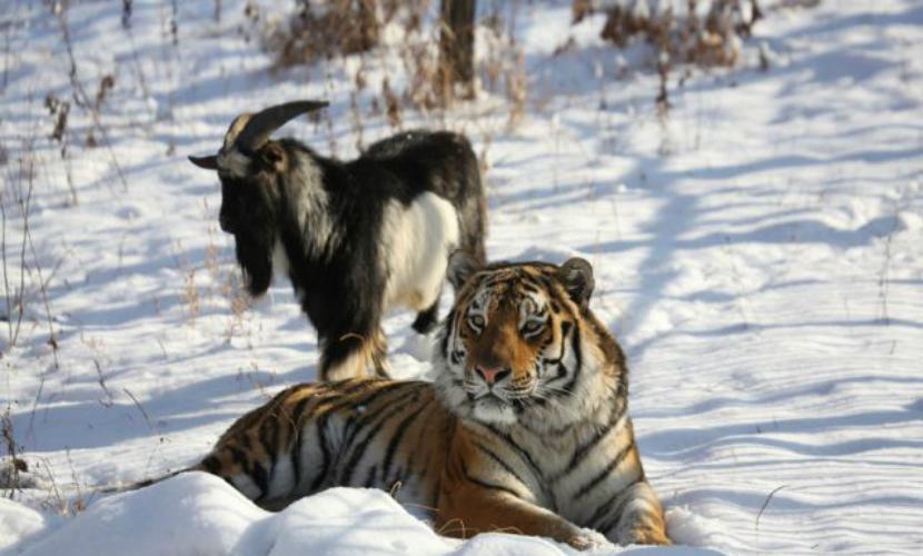 Тигр Амур и козел Тимур провели товарищеский футбольный матч