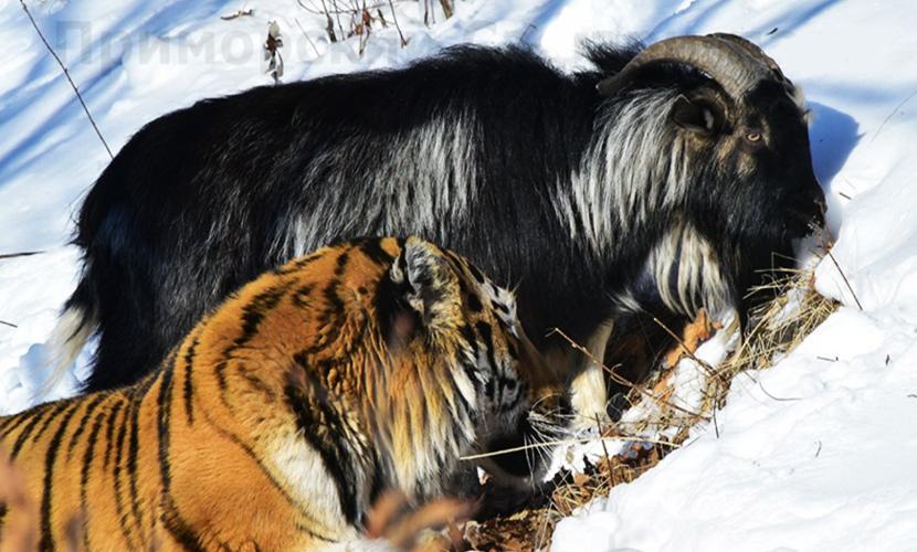 Дружба Тимура и Амура закончилась: израненный козел не вернется в вольер хищника