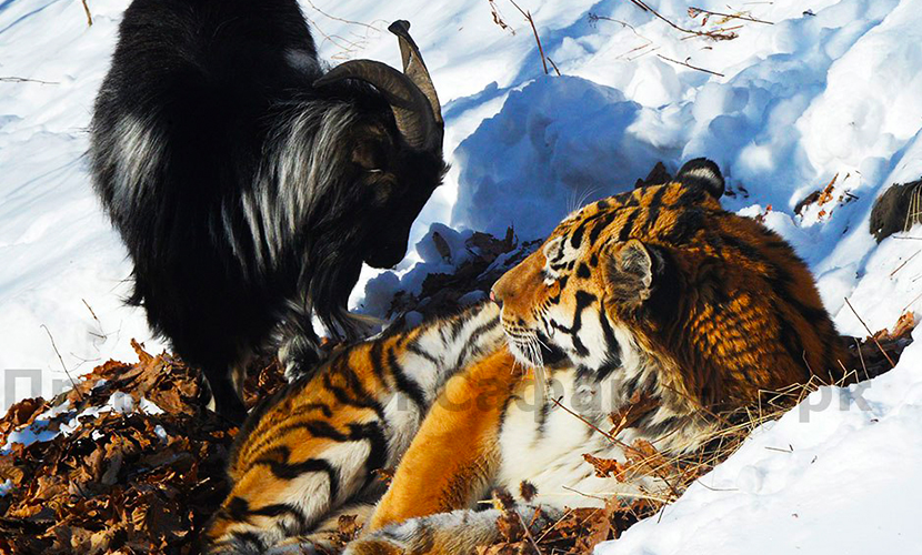 Козел Тимур на смотринах невест неожиданно выбрал тигра Амура
