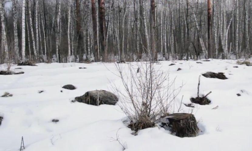 В заповеднике имени Василия Пескова варварски вырубаются сотни кубометров отборных сосен