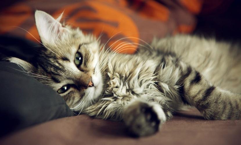 У кошек в наличии больше болевых ощущений, чем у людей, - британские ученые