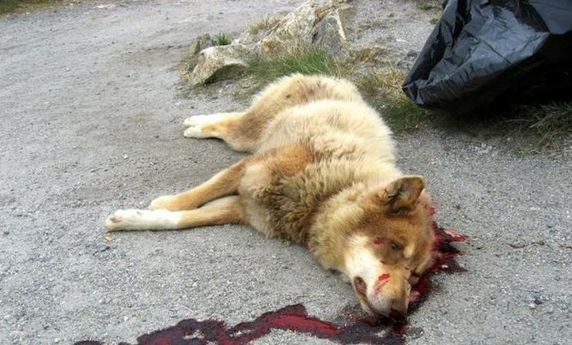 Женщину вместе с бездомными собаками расстреляли в Липецкой области