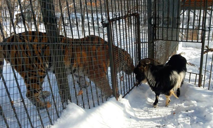 Козла Тимура переселили поближе к тигру Амуру