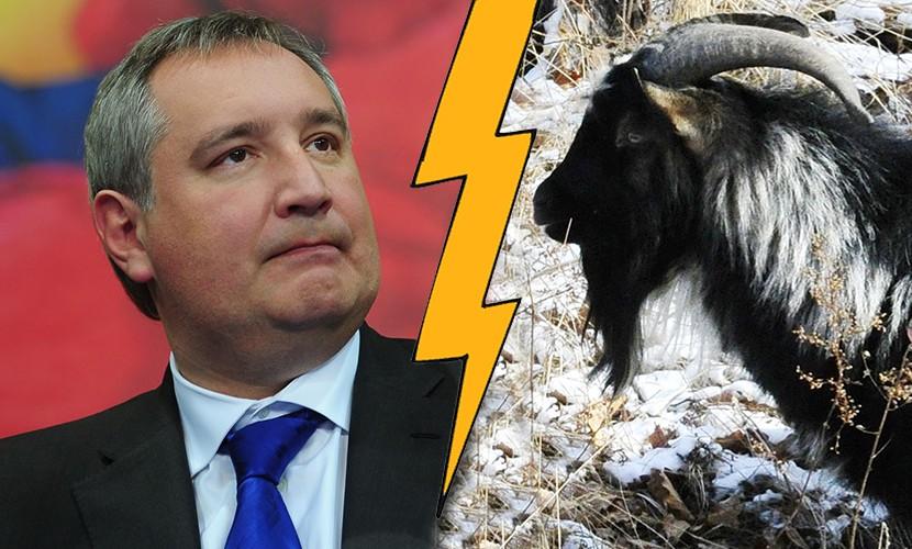 Разгневанный Рогозин назвал козла Тимура «перебинтованным ходячим антрекотом»