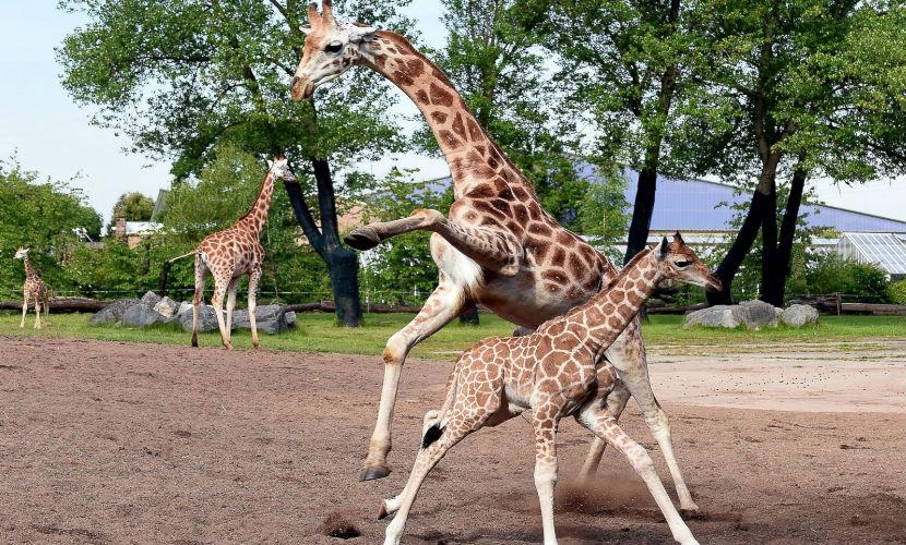 В зоопарке Чикаго сошли с ума жирафы