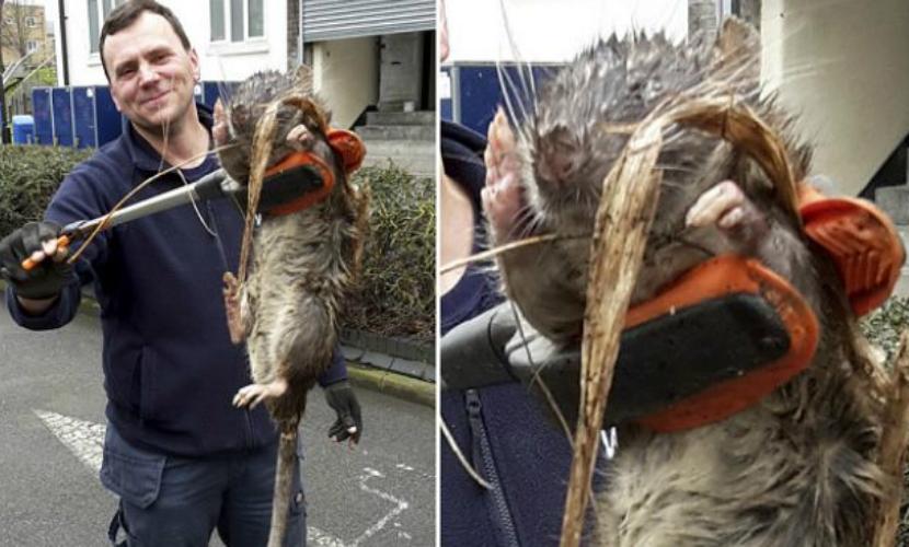 11-килограммовая крыса-мутант из центрального Лондона оказалась домашним питомцем