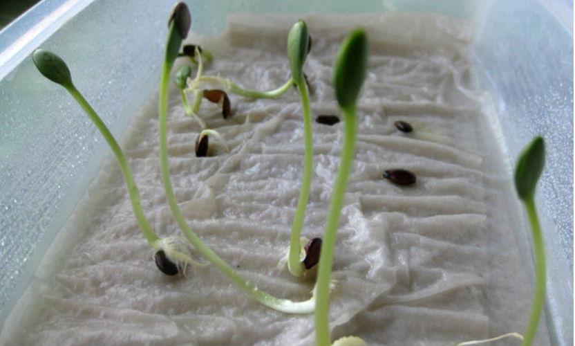 Эксперты заявили: перед посадкой нужно замочить семена в водке