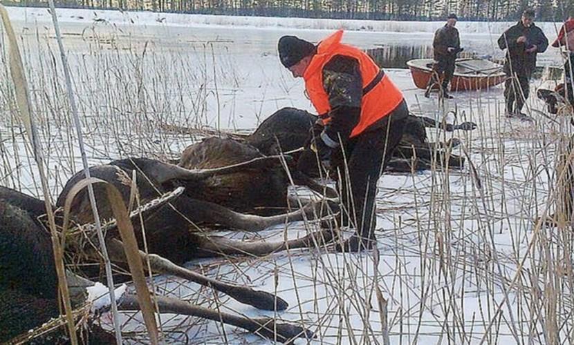 Целое стадо лосей провалилось под лед и утонуло в Карелии