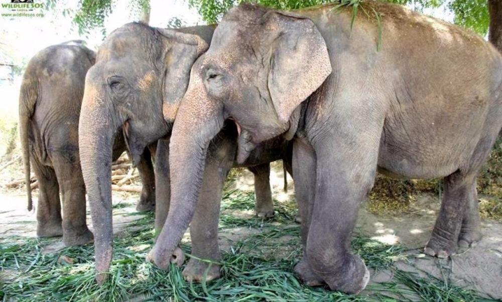 Зоозащитники спасли трех слоних, которые провели 50 лет в рабстве у бродячих циркачей