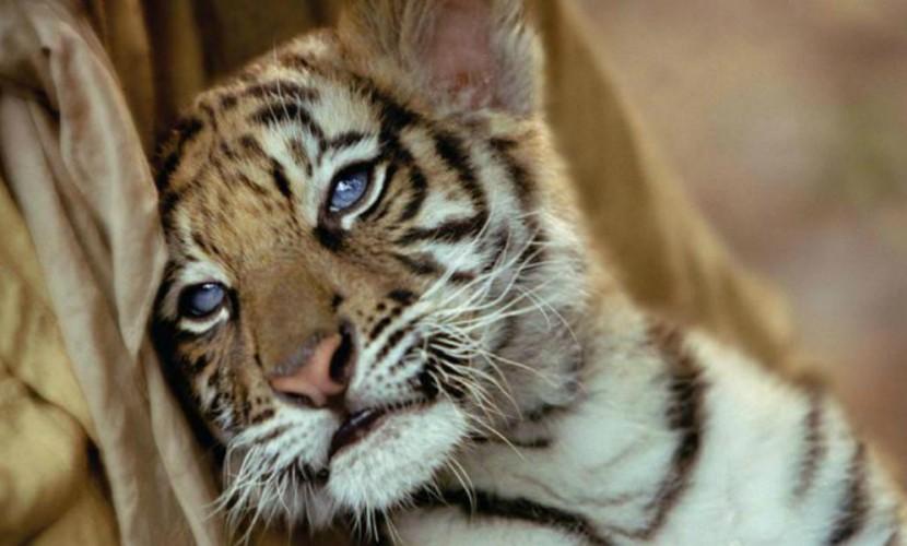Житель Приморья хранил амурского тигренка в своем холодильнике