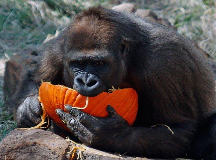 Жители США негодуют после убийства гориллы из-за трехлетнего мальчика