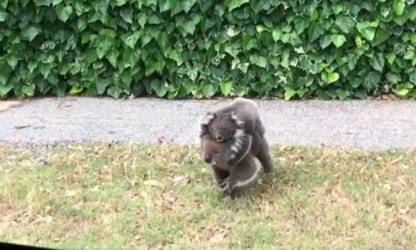 Умилительное видео с выгуливающей детеныша коалой стало хитом YouTube