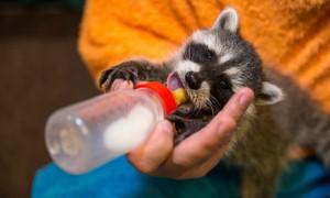 Видео с новорожденными енотами московского зоопарка появилось в Сети