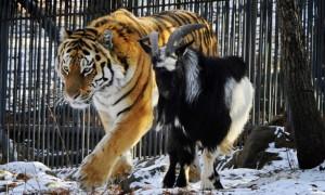Знаменитый тигр Амур сломал хребет козлу Тимуру