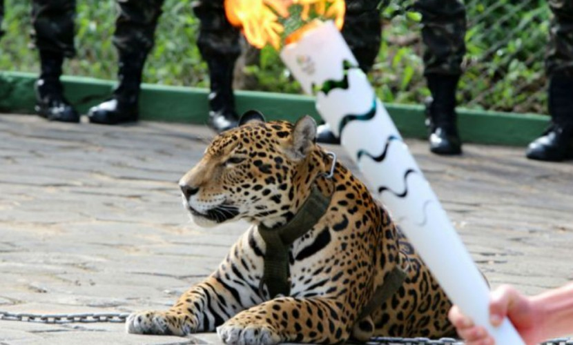 Ягуара застрелили из-за нападения на ветеринара после эстафеты передачи олимпийского огня в Бразилии