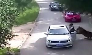 Убийство разъяренным тигром женщины сняли на видео в парке Китая