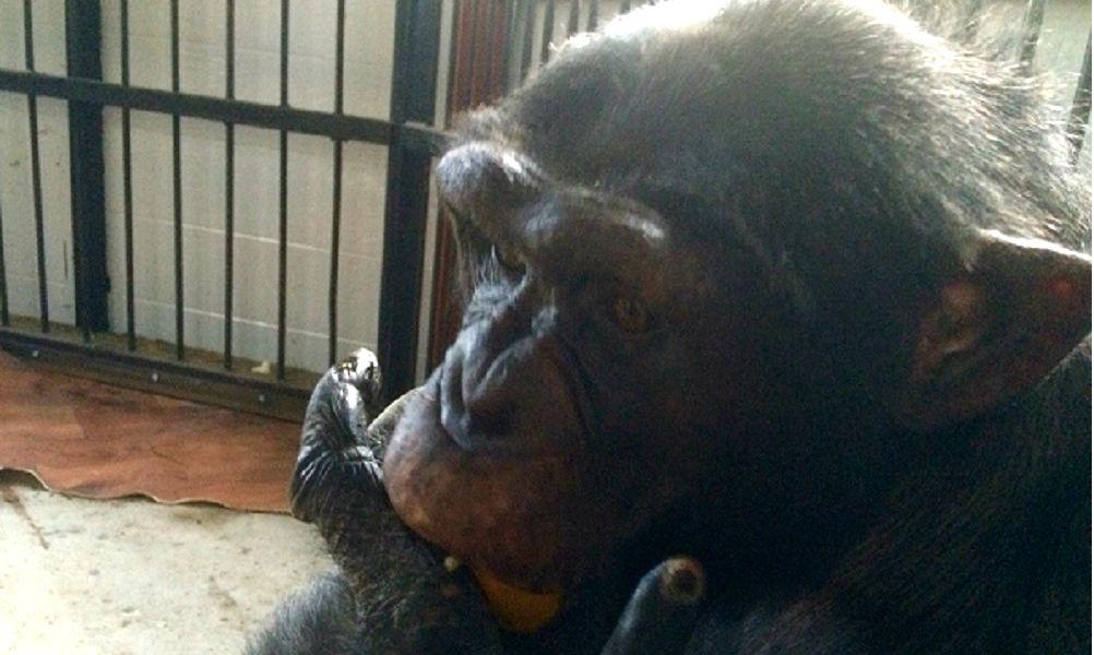 Ставропольскому шимпанзе Малевичу понадобились для выживания 100 тысяч рублей в месяц