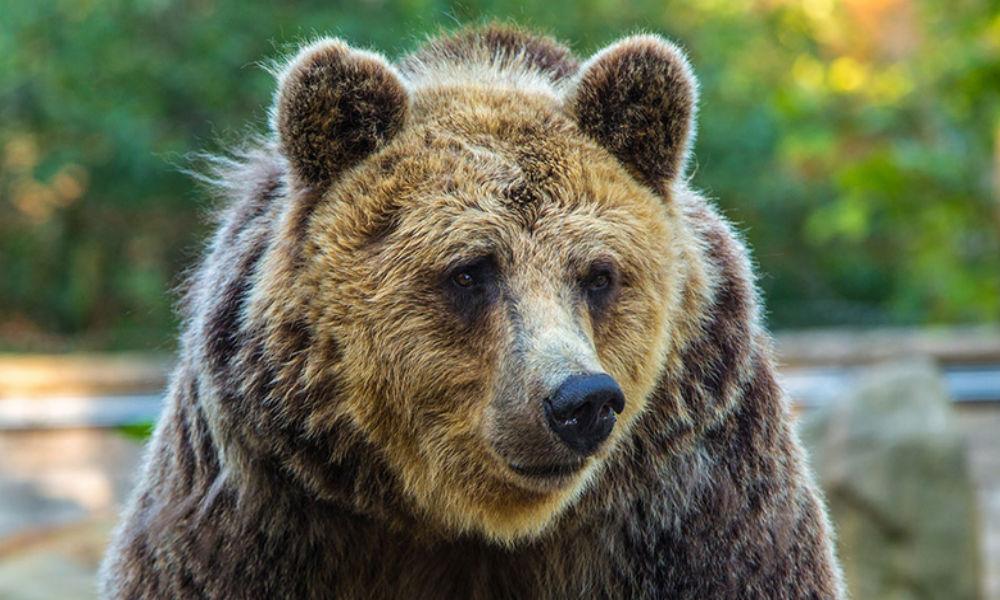 Разъяренный медведь напал на любителя ягод в лесу под Кировом