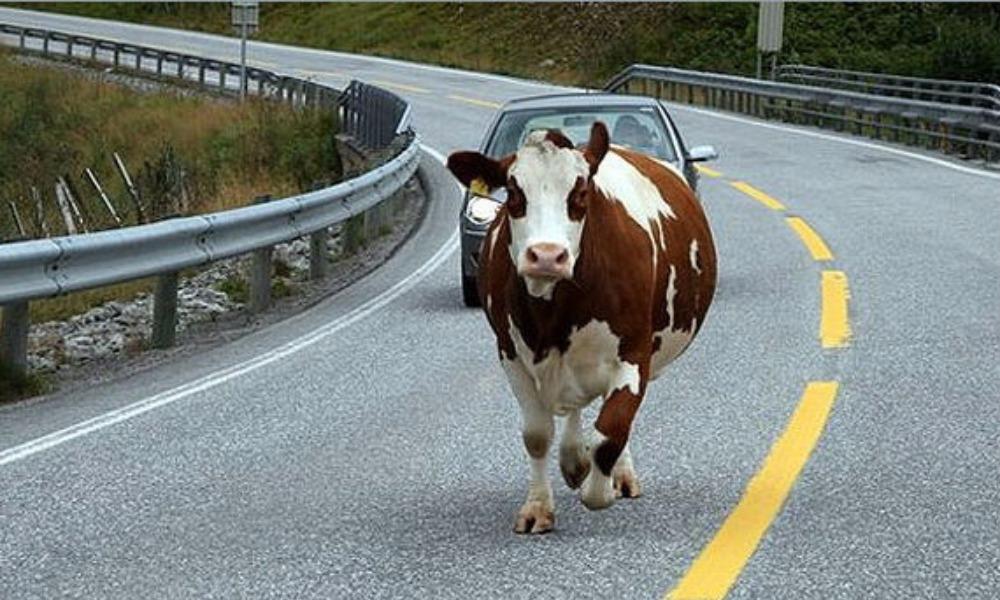 Огромный бык попал в ДТП и придавил случайного прохожего в Хакасии