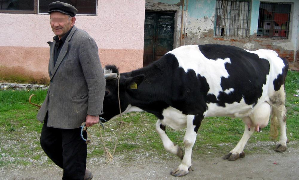 Чувствительная корова погубила ведущего ее на бойню хозяина в Зауралье