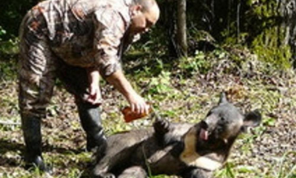 Пьяная гималайская медведица Маша устроила переполох среди селян в Хабаровском крае