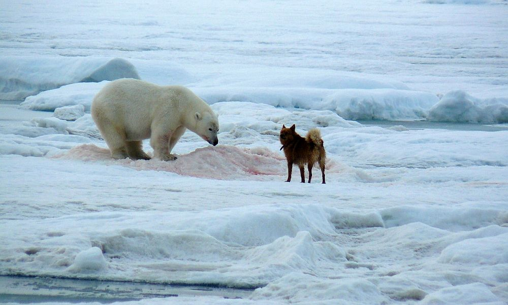 Собака по кличке Боцман спасла людей от пятнадцати белых медведей во время голосования на севере