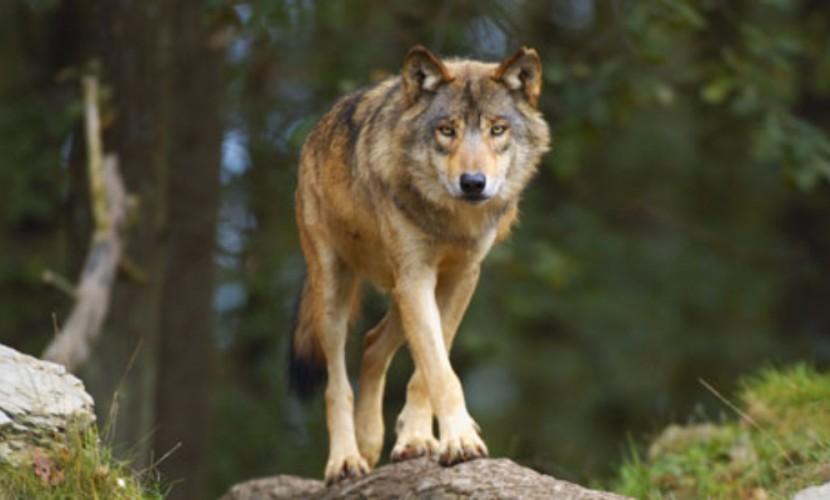 ВСмоленской области волк напал нагрибника