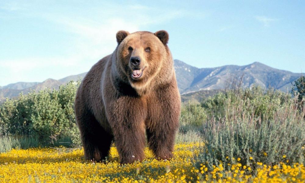 Нападение медведя на фотоловушку в национальном парке «Таганай» попало на видео