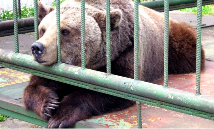 Медведь откусил руку пьяной жительнице Кузбасса, которая попыталась его покормить