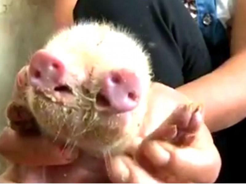 Опубликовано видео рожденного в Китае «милого» поросенка с двумя пятачками и тремя глазами