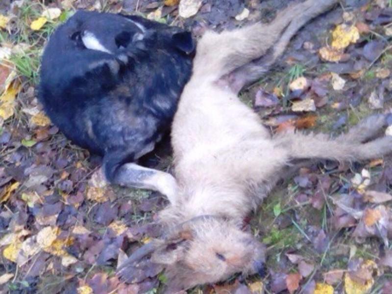 Пользователей Сети до слез растрогали попытки пса оживить свою мертвую подругу в Торжке