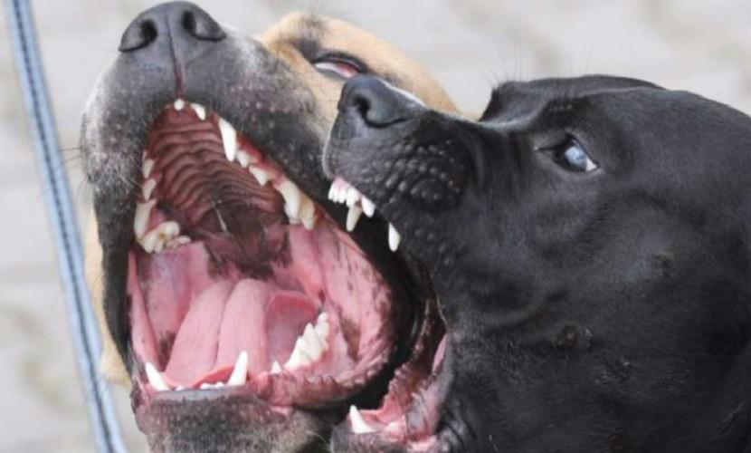 НаУрале собаки загрызли семилетнего ребенка